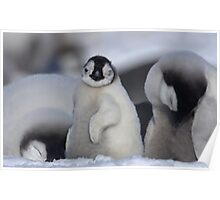 Half Asleep Emperor Penguin Chick - Snow Hill Island  Poster