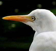 Beauty is in the eye of the beholder..Great Egret by Sandra  Sengstock-Miller