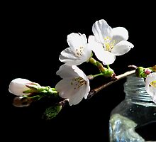 Apple Blossom White by AngieDavies