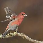 Pine Grosbeak by wildlifephoto