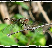 Dragonfly by Roadchubbs