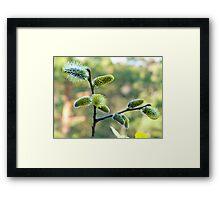 Salix Blossoms Framed Print