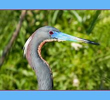 Tricolored Heron in Breeding Plumage by Delores Knowles