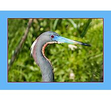 Tricolored Heron in Breeding Plumage Photographic Print