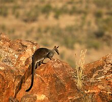 Black-flanked Rock Wallaby by Stuart Cooney