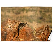 Black-flanked Rock Wallaby Poster