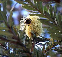 Big fat bumble bee on a cream grevillea by Marilyn Baldey
