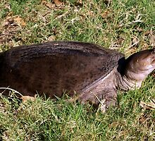 Snapping turtle on land by ♥⊱ B. Randi Bailey