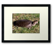 Snapping turtle on land Framed Print