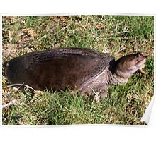 Snapping turtle on land Poster