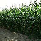 Corn Field by terrebo