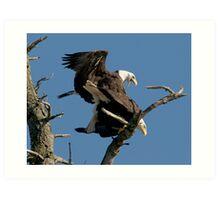 Bald Eagles Mating Art Print