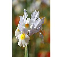 Pure Iris Photographic Print