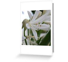 White Agapanthus  Greeting Card