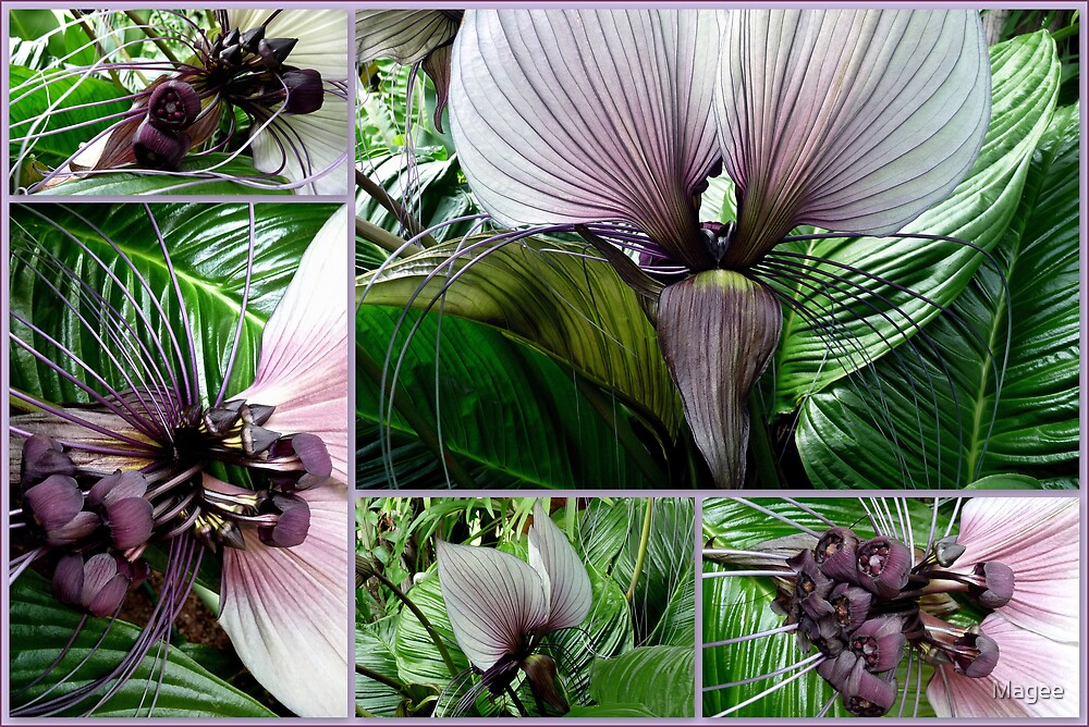 Bat Plant  tacca integrifolia by Magee