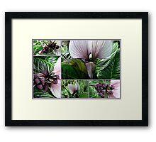Bat Plant  tacca integrifolia Framed Print