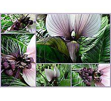 Bat Plant  tacca integrifolia Photographic Print