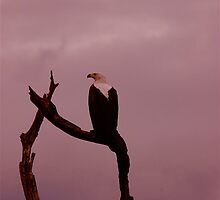 African Fish Eagle by DUNCAN DAVIE