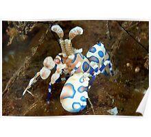 Harlequin Shrimp Poster