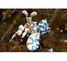 Harlequin Shrimp Photographic Print