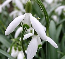 Snowdrops are out by loiteke