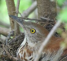 Brown Thrasher on Her Nest by ChuckBuckner