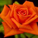 THE ORANGE ROSE by Magriet Meintjes