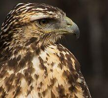 Juvenile Harris' Hawk by Bob Ramsak