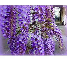 Wisteria Fragrance Photographic Print