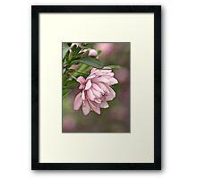 Pink Flowering Almond Framed Print