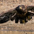 Juvenile Bald Eagle Take Off by David Friederich