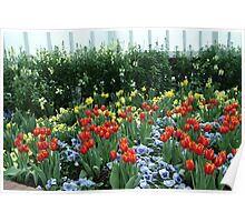 Blue among the Daffodils and Tulips  Poster
