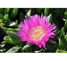 Mediterranean flower of the beaches - (Carpobrotus edulis) Photographic Print