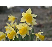 Dainty Daffodils Photographic Print