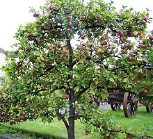 Trained apple tree at Cascade Brewery, Hobart, Tasmania by Marilyn Baldey