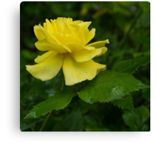 Yellow Rose Pearls Canvas Print