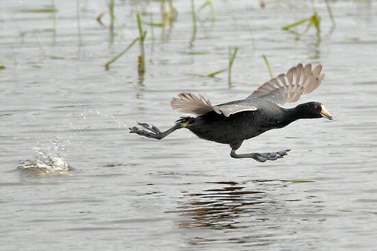 Coot Scoot by Ken Haley