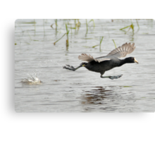 Coot Scoot Canvas Print