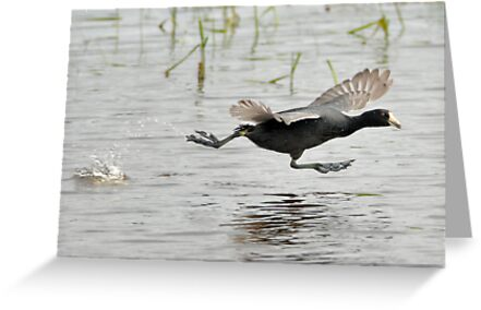 Coot Scoot by Kenneth Haley