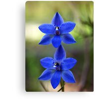 Sun Orchid, Blue  (Thelymitra ixioides) Canvas Print