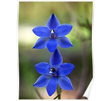 Sun Orchid, Blue  (Thelymitra ixioides) Poster