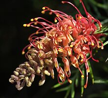 Grevillea  Superb Flower by Joy Watson