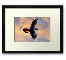 Red Tail Black Cockatoo - Flight Framed Print