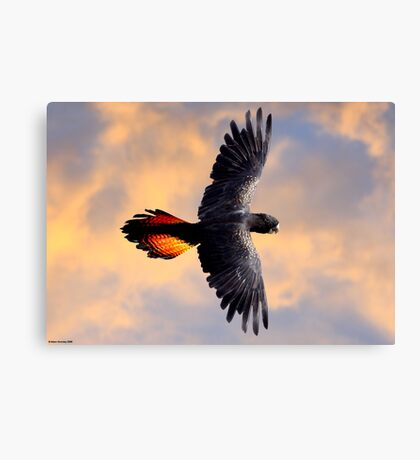 Red Tail Black Cockatoo - Flight Canvas Print