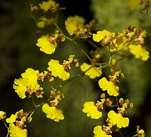 Orchid Yellow by blackjack