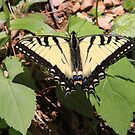 Easter Swallowtail by MountainHawk