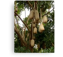 African Sausage Tree Fruit Canvas Print