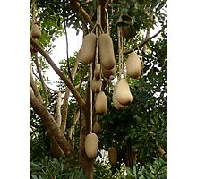 African Sausage Tree Fruit Photographic Print