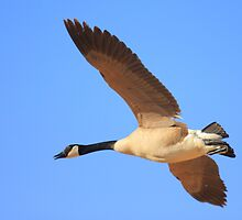 Canadian Goose by Brian Dodd