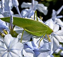 Leaf Hopper by Steven  Agius